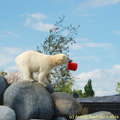 ijsberen_11 (Arnold Beettjer) Tags: wildlands emmen dierenpark dierentuin dierenparkemmen ijsbeer ijsberen polarbear