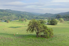 Springtime Idyll (James L. Snyder) Tags: cows bovine cattle grazing quercus oak trees foliage grass foothills hills mountains valley meadow pasture grassland pond lake vista view ranch countypark park native rolling smooth vernal lush luxuriant verdant old rural country pastoral bucolic green impressionistic atmospheric bluesky cumulus clouds atmosphere cloudy tranquil peaceful idyllic idyll majestic whitebarn washburntrail josephgrantcountypark hallsvalley sanfelipehills grantlake panochitahill ranchocaadadepala bayarea sanjose santaclaracounty diablorange coastalmountains california usa horizontal treesonhills afternoon march spring springtime 2015