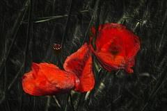 metal hard (ackostojkovic) Tags: poppy manipulation red