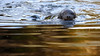 Pusa hispida (JGOM) Tags: netherlands zoo arnhem nederland burgers seal burgerszoo dierentuin pusa dierenpark ringedseal burgersdierenpark pusahispida