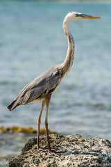 D7100_JLF1161.jpg (LatyrF) Tags: world voyage bird nature animal mexico photography photographie playadelcarmen northamerica mexique oiseau greatblueheron quintanaroo ardeaherodias travelphotography grandhron typeofphotography
