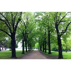 #biketowork #dailycommute #kln (Pim Rakers) Tags: trees nature bomen natur natuur cologne kln colonia koeln beech allee gravelroad buche keulen beuken zandpad sandweg grngrtel bumen innere gruenguertel baeumen