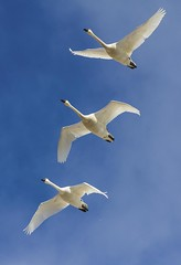 Tundra Swans (a56jewell) Tags: blue march spring swan bluesky tundra longpoint tundraswan a56jewell