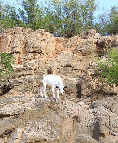 Somaliland Goat