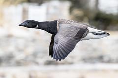 Brant, Cove Island (JEO126) Tags: park island pond nikon cove flight holly stamford tamron brand 70300 d5300