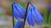 Zweiblättriger Blaustern (Scilla bifolia) Two-sheeted squill (Wolfgang's digital photography) Tags: natur pflanze panasonic blau makro nahaufnahme fz50 blaustern frühjahrsblüher sternhyazinthe liliengewächse spargelgewächs