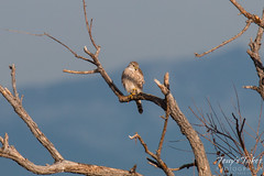 A Merlin keeps watch on the Colorado plains