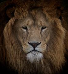 King of the Jungle (moggsterb) Tags: portrait hair zoo eyes leo lion pride whiskers predator mane thelionking alphamale zooanimal malelion kingofthejungle goldenmane rescuedlion