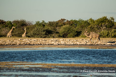 Kudu & Giraffe At The Watering Hole In Etosha National Park, Namibia