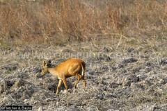 37948 Northern red muntjac (Muntiacus vaginalis) in a seasonal waterhole (trapeang) in dry deciduous forest during the dry season, Mondulkiri Protected Forest, Mondulkiri, Cambodia. IUCN=Least Concern. (K Fletcher & D Baylis) Tags: animal fauna mammal asia cambodia wildlife deer waterhole indochina muntjac barkingdeer mondulkiri muntiacus trapeang leastconcern wildsidephotography drydeciduousforest srepok fletcherbaylis easternplainslandscape northernredmuntjac muntiacusvaginalis mondulkiriprotectedforest srepokwildernessarea