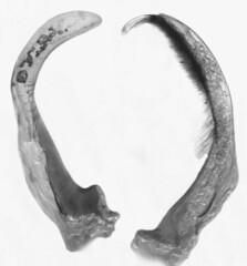Suphisellus cf. majusculus, male genitalia (Wolfram Sondermann) Tags: male colombia meta coleoptera genitalia sanmartn adephaga dytiscoidea noteridae noterinae sanluisdecubarral taxonomy:binomial=suphisellusmajusculus