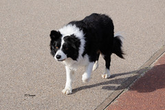 Gorleston Prowl (EJ Images) Tags: uk england dog pet slr beach coast blackwhite mac nikon friend collie bc sheepdog norfolk canine coastal bordercollie seafront dslr gorleston eastanglia 2015 nikonslr d90 norfolkcoast gorlestonbeach nikondslr blackwhitedog nikond90 dsc0180 gorlestonseafront 18105mmlens norfolkcoastal ejimages