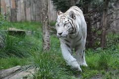 Weier Tiger im Zoo dAmnville (Ulli J.) Tags: france zoo frankreich tiger frankrijk tijger lorraine tigre whitetiger frankrig moselle amnville lotharingen wittetijger lothringen tigreblanc weisertiger