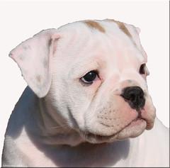 Lovely Alice - Continental Bulldoggirl