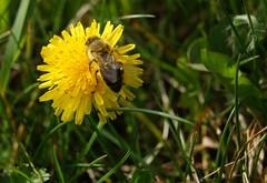 spring in germany (vuokkopeter) Tags: nature germany deutschland spring natur frühling luonto kevät saksa ludwigsau