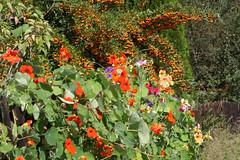 ckuchem-1-3 (christine_kuchem) Tags: tropaeolum zaun garten bunt bauerngarten ranken kletterpflanze kapuzinerkresse tropaeolaceae natrlich gartenzaun blhender naturnah rankpflanze naturgarten kapuzinerkressengewchse kapuzinerkressen farbengarten einjhrige privatgarten zaunbegrnung saatmischung blumenmischen