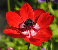 Anemone in ROT (   flickrsprotte  ) Tags: blume blte rot botanischergarten kiel juli sommer sonne flickrsprotte anemone hahnenfusgewchs windrschen