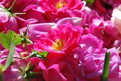 Rose (m@rchino) Tags: flowers rose del garden rosa queen regina fiori petali giardino siepe