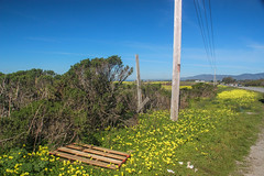 Mustard Bloom (tree007) Tags: california flower mustard bloom highway1