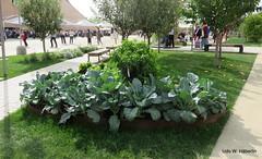 Gemüse statt Blumenbeete_4678 (urban-development) Tags: urban gardening stadtökologie lebensqualität wien