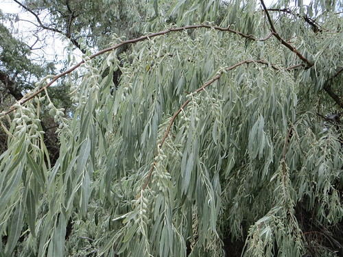 Weeping willow leaves and buds