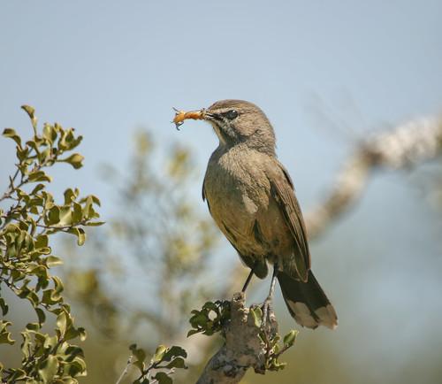 Karoo Scrub-Robin, Slangverklikker, with insect prey, taken to nest, Loeriesfontein, Cape.