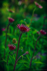 Green & purple (Joni Mansikka) Tags: nature summer outdoor garden green purple flowers tuorla suomi finland colours tamronspaf2875mmf28xrdildasphericalif
