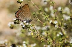 Satyrium esculi (Mauro Hilrio) Tags: butterfly insect bug portugal nature animal detail closeup copper small satyrium esculi false ilex hairstreak