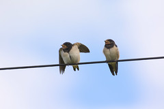 Barn Swallows ~ Explored (Margaret S.S) Tags: birds barn swallows juveniles