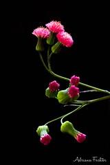 af1508_0261 (Adriana Fchter) Tags: brasil brazil       botanical garden flores  flowers   fiori  blumen fleurs bloemen blommor   fleur natureza  aard    natura  naturaleza day dia      macro makrofotografie  photographie  lhikuvaus  botanica flor blte flower fiore flora botnica botany botanique  botanik planta serenidade adrianafuchter