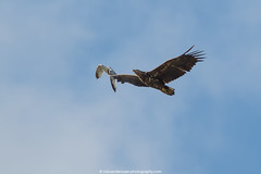 Zeearend (White Tailed Eagle) (robvanderwaal) Tags: bird nature netherlands birds inflight nederland vogels natuur birdofprey vogel biesbosch bif zeearend 2016 roofvogel roofvogels whitetailedeagle haliaeetusalbicilla invlucht rvdwaal robvanderwaalphotographycom