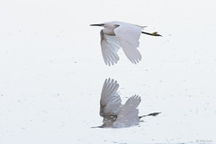 Opposites attract (Shane Jones) Tags: littleegret egret bird birdinflight reflection wildlife nikon d500 200400vr pk3extensiontube pk3x2