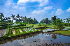 Rice Paddies (ben_leash) Tags: blue sony a77 java indonesia yogyakarta jogjakarta rice agriculture field rural peasant terrace paddies paddy palms cloudy clouds