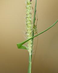 Phaneroptera nana - neanide (variabilit di colorazione) (Carla@) Tags: nature canon europa italia wildlife liguria ortotteri phaneropteranana explorenaturethewildnature