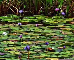 Flores Nenfar (MariaTere-7) Tags: parque flores del de francisco venezuela caracas explore este miranda nenfar generalsimo maratere7