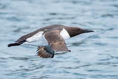Guillemot D50_2718.jpg (Mobile Lynn) Tags: birds guillemot nature wild bird fauna wildlife farneislands northumberland england gb coth specanimal ngc npc