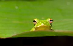 The Malabar gliding frog or Malabar flying frog (Rhacophorus malabaricus) (SaiKiranKanuri) Tags: macro flying western gliding monsoons ghats malabar agumbe malabaricus rhacophorus
