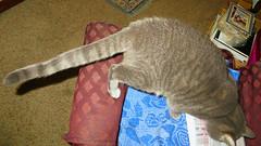 """They went that-a-way"" Millie 12 August 2016 0659Ri 9x16 (edgarandron - Busy!) Tags: cat cats kitty kitties tabby tabbies cute feline millie graytabby"