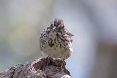 IMG_4434.jpg Song Sparrow, Schwan Lake (ldjaffe) Tags: schwanlake songsparrow