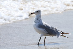 Seagull on the shore (acereporter73) Tags: beach shore oceangrove
