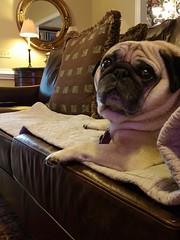 After his bath. (geraldbrazell) Tags: banditthepug banditthegultypug guiltypug dog pug geraldbrazell columbiasc smushedfacedogs