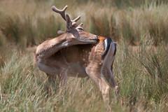 Reach Out (Luis-Gaspar) Tags: animal mammal mamifero gamo deer fallowdeer cervusdama portugal mafra tapadademafra nikon d60 55300 f56 1800 iso400