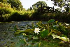 Waterlelie 20-7-2016 (Walter van Ooijen) Tags: nature water netherlands dutch flora sony natuur sigma bos bommelerwaard gelderland brakel waterlelie a65 nederlandvandaag sigma18250mm