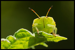 I see you!! (MathBIB) Tags: green punaise vert thumbtack canon 70d 60mm macro nature feuille leaf insecte insect
