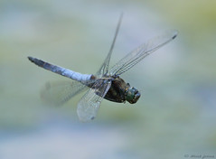 Male Black-tailed Skimmer (Orthetrum cancellatum) (Mark Ferris wildlife Photography) Tags: orthetrumcancellatum blacktailedskimmer lake pond water wing dragonfly odonata suffolk denston newmaket