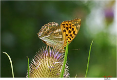 Silver-washed fritillary  (Lutz Koch) Tags: silverwashedfritillary kaisermantel schmetterling butterfly argynnispaphia idsteinerland taunus natur nature elkaypics lutzkoch macro closeup nahaufnahme germany karde teasel distel perlmutterfalter argynnini argynnis nacarada tabacdespagne nagygyngyhzlepke tabaccodispagna fritillaria pafia  keizersmantel  bokeh explore explored inexplore onexplore