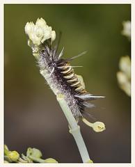 Milkweed Tussock Moth Caterpillar (gauchocat) Tags: arizonasonoradesertmuseum tucsonarizona euchatesegle
