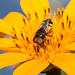 Fly+visiting+yellow+Tithonia+flower