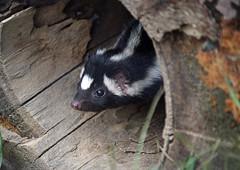 A Little Shy (MTSOfan) Tags: spilogale spottedskunk shy timid skunk lvz