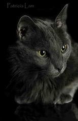 Smokey_ plexi 6329cfDC PatriciaLam (Studio5301) Tags: cat pussycat portraitsofacat patricialam studio5301 graycat darkgraycat catinastudio catheadshot